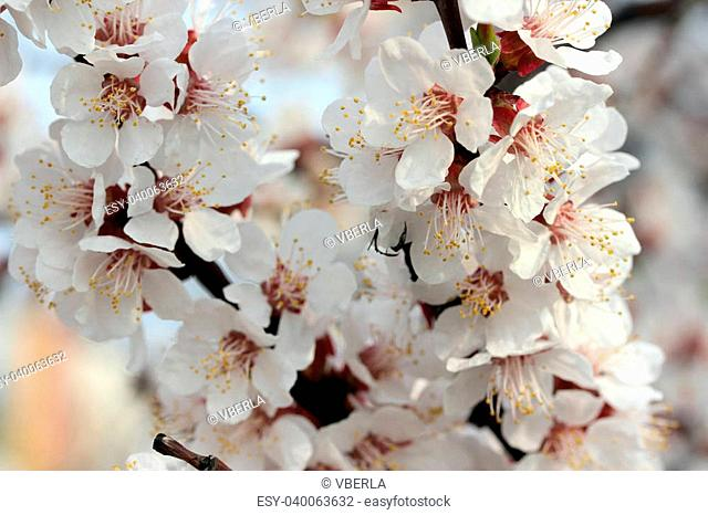spring flowering branches of apricot tree