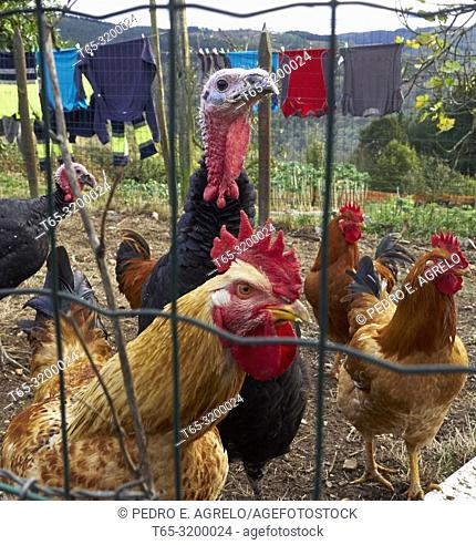 Corral animals, chickens and turkeys, in a village in the province of Lugo