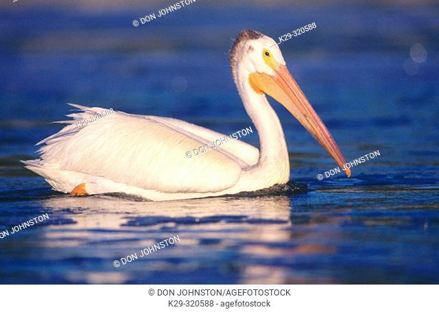 American White Pelican (Pelecanus erythrorhynchos). Fairford. Manitoba. Canada