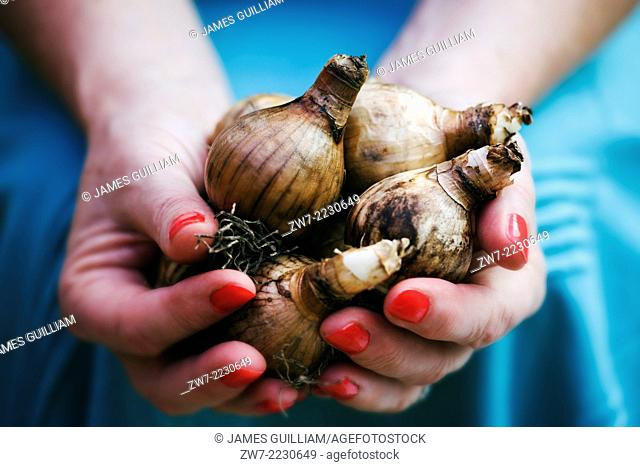 Womans hands filled with spring flowering Narcissus bulbs