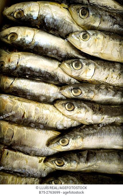 Sardines in market. Padrón, Province of La Coruña, Galicia, Spain