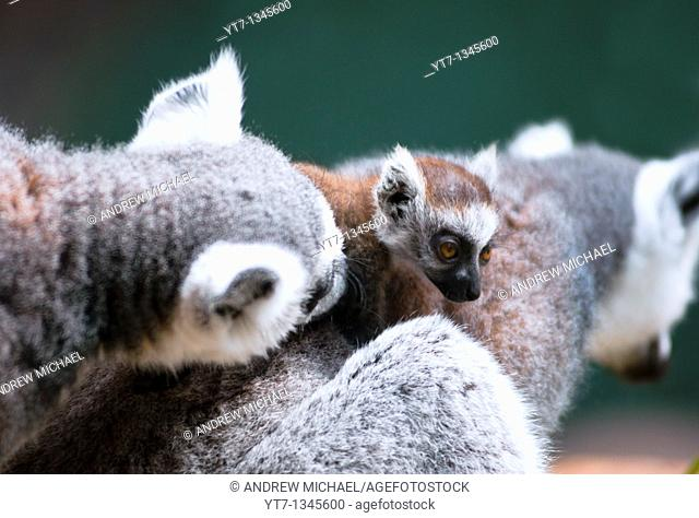 Baby Lemur with mum and dad