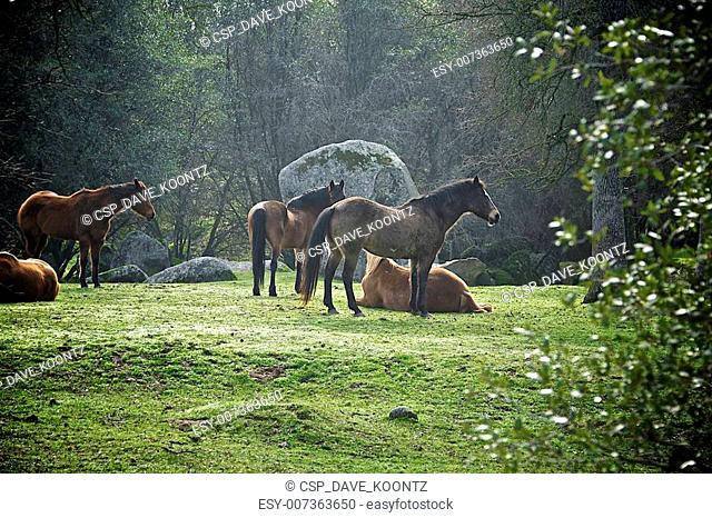 A herd of horses rest in a forest clearing