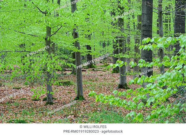 Beech forest, Herrenholz, Vechta district, Oldenburg Münsterland, Lower Saxony, Germany / Buchenwald, Herrenholz, Landkreis Vechta, Oldenburger Münsterland