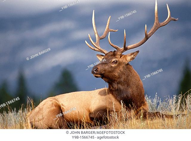 ROCKY MOUNTAIN ELK Cervus canadensis nelsonii bull in peak shape for fall, Yellowstone National Park, Wyoming, USA