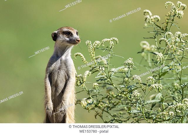 Suricate (Suricata suricatta). Also called Meerkat. Guard on the lookout. The plant is a Narrow-leaved Heliotropium (Heliotropium lineare)
