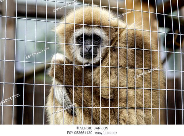 Sad monkey caged, detail of abandoned animal, animal abuse