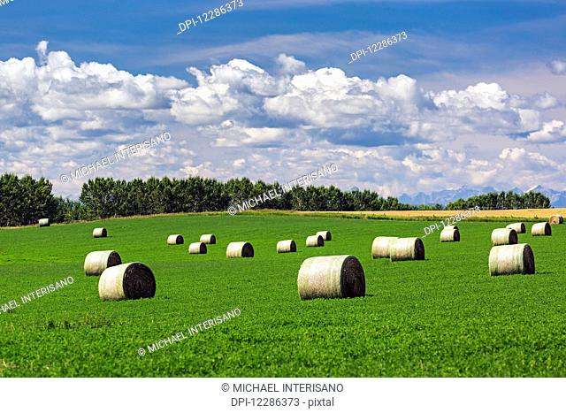 Large round hay bales in an alfalfa field with clouds and blue sky; Acme, Alberta, Canada