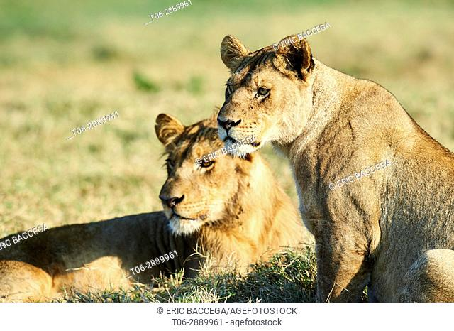 African lioness (Panthera leo) with her juvenile cub aged 2 year old. Duba Plains concession, Okavango delta, Botswana