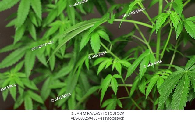 Cannabis female plants growing indoors, Indica dominant hybrids in early flowering phase