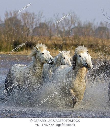 Camargue Horses, Herd Trotting in Swamp, Saintes Marie de la Mer in Camargue, South of France