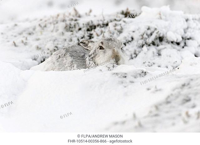 Mountain Hare (Lepus timidus) adult, in winter coat, sitting in form on snow covered hillside, Grampian Mountains, Highlands, Scotland, January