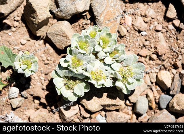 Blanquilla mansa (Filago pygmaea or Evax pygmaea) is an annual small plnt native to Mediterranean basin. This photo was taken in Cap Ras, Girona, Catalonia