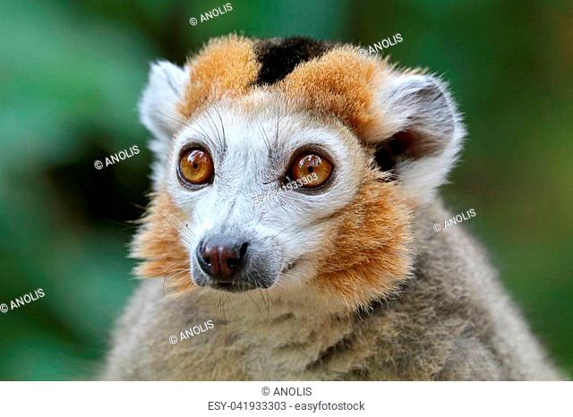 Crowned lemur portrait
