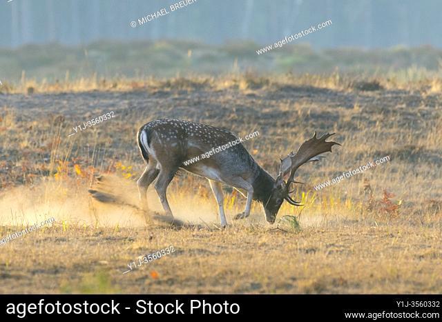 Fallow deer in autumn at rutting season, Germany, Europe