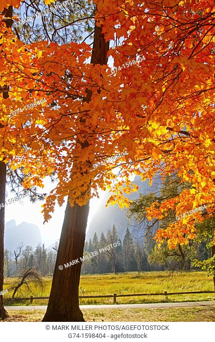 Bright fall colors of last remaining Sugar Maple Tree introduced into Yosemite National Park, California, USA