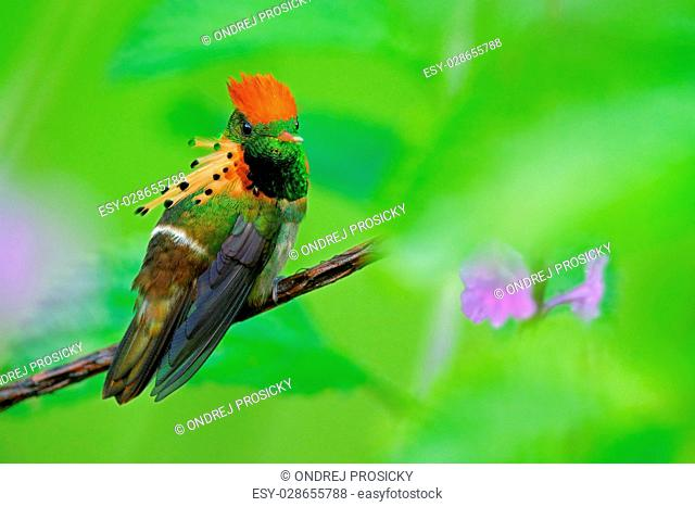 Tufted Coquette, colorful hummingbird with orange crest