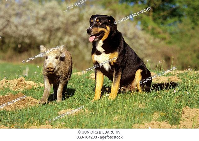 Wild Boar Sus scrofa. Piglet standing next to sitting dog