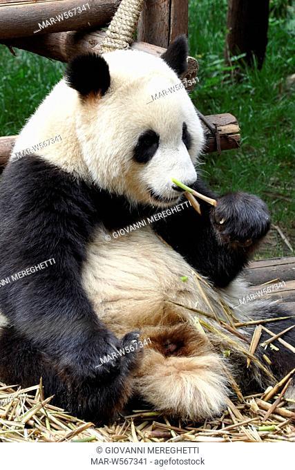chengdu research base of giant panda breeding, sichuan, cina