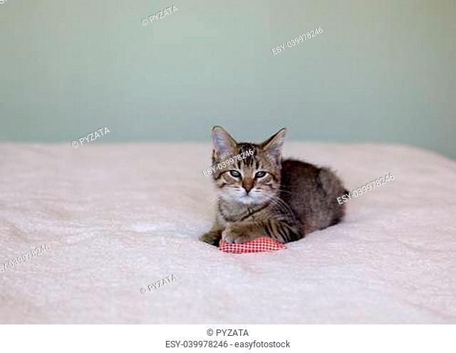 adorable gray tabby kitten lying on bed with pillow