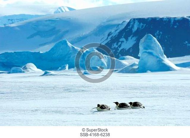 ANTARCTICA, WEDDELL SEA, SNOW HILL ISLAND, EMPEROR PENGUINS Aptenodytes forsteri, ADULT PENGUINS TOBOGGANING OVER ICE