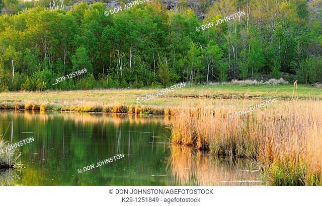 Reedbeds along shore of Robinson Lake. Ontario. Canada