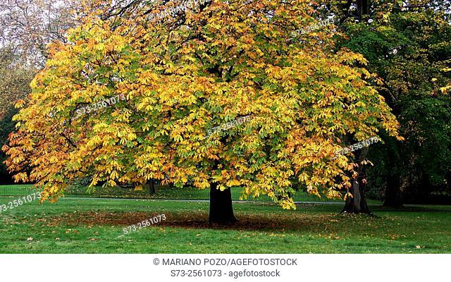 Autumnal trees, Hyde Park, London, England, United Kingdom, Europe