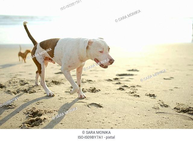 Dogs wandering beach
