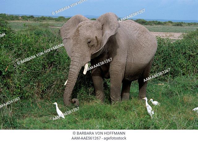 African Elephant with Cattle Egrets (Loxodonta africana), Amboseli Np, Kenya