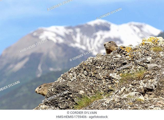 France, Alpes de Hautes Provence, Selonnet, Alpine Marmot (Marmota marmota)