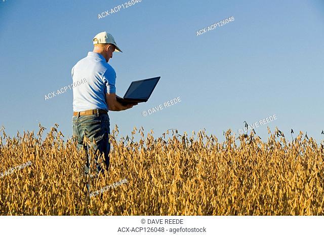 a farmer using a computer in a mature, harvest ready soybean field, near Grande Pointe, Manitoba, Canada