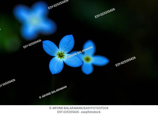 Close up photo of azure bluet wild flower