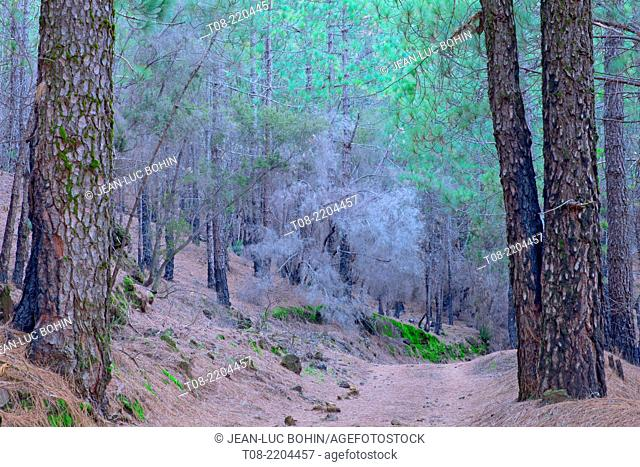 spain,canary islands, la palma : pine-tree, path and needles pine