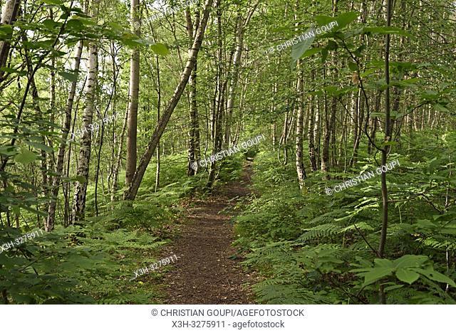 fern in the understory, Forest of Rambouillet, Haute Vallee de Chevreuse Regional Natural Park, Yvelines department, Ile-de-France region, France, Europe