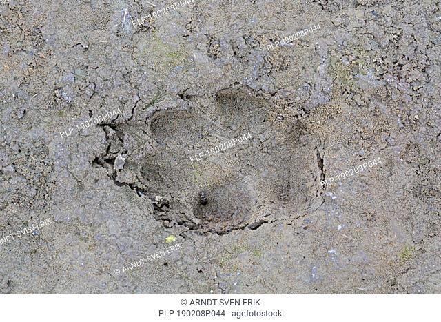 Red fox (Vulpes vulpes) close-up of footprint in wet sand / mud