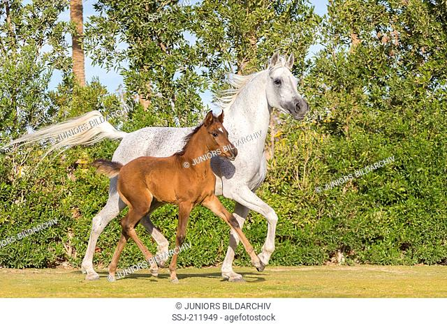 Arab Horse. Gray mare with chestnut foal trotting on a lawn. Egypt