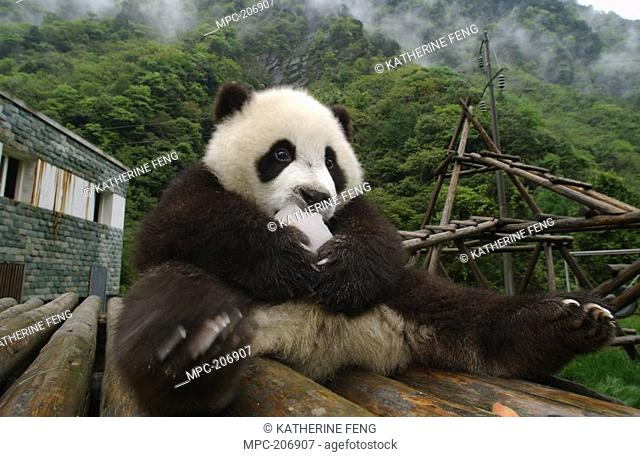 Giant Panda Ailuropoda melanoleuca, endangered, seven month old cub named Teeoh eating a treat of sweet potato frozen in ice given by the staff at the Wolong...