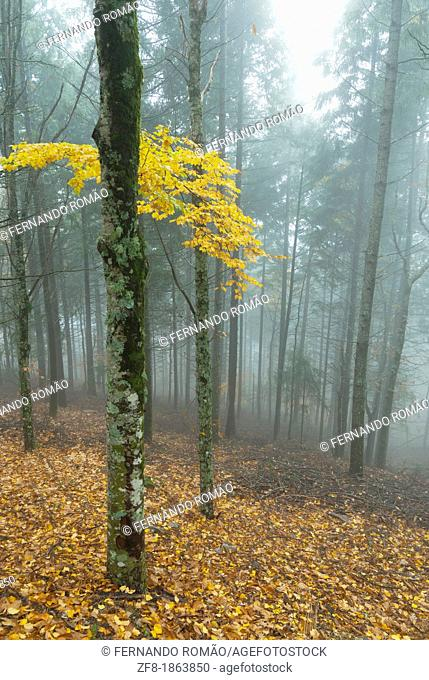 Forest in the mist-2, at Estrela Mountain Natural Park, Portugal
