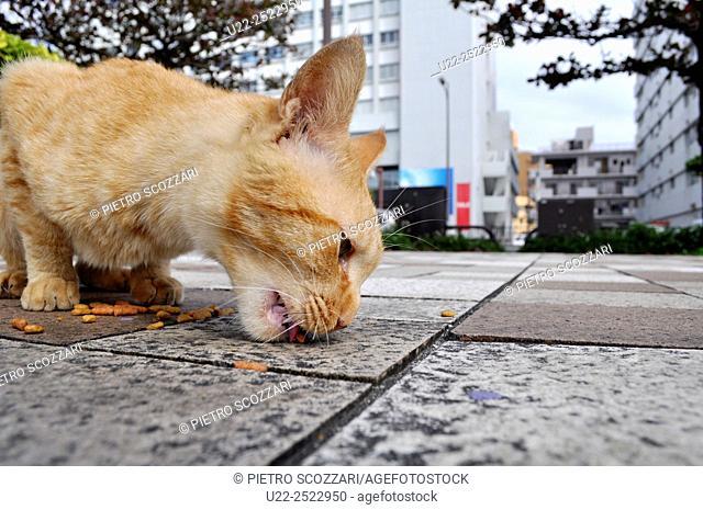 Naha, Okinawa, Japan: stray cat eating