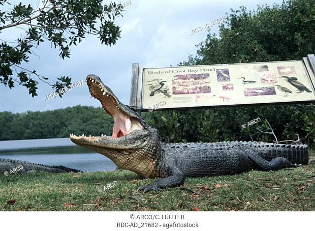 American Alligator Everglades national park Florida USA Alligator mississippiensis side