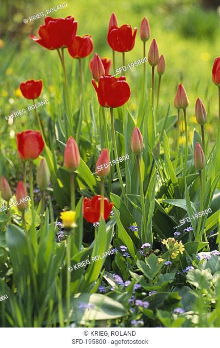 Red tulips in garden (1)