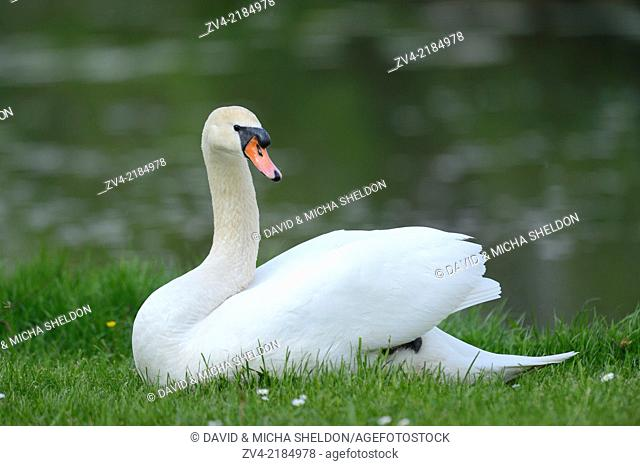 Close-up of a Mute Swan (Cygnus olor) on a meadow in spring