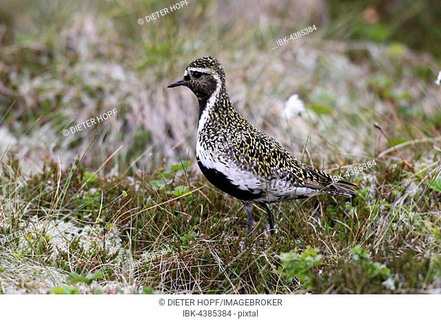 Golden plover (Pluvialis apricaria) standing in meadow, tundra, Lofoten, Norway