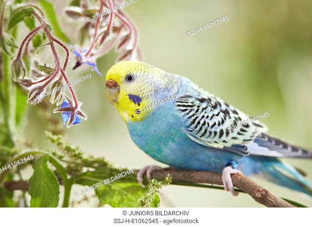 Rainbow Budgerigar, Budgie (Melopsittacus undulatus) on Borage (Borago officinalis) stalk. Germany