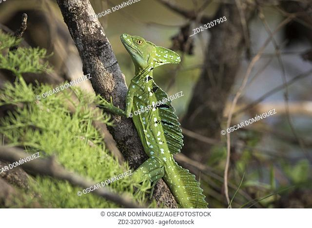 Green Basilisk (Basiliscus plumifrons) perched on branch. Caño Negro Wildlife Refuge. Alajuela province. Costa Rica