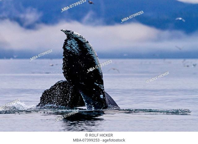 Humpback whale fluke during a foggy morning in Blackfish Sound of northern Vancouver Island, British Columbia, Canada