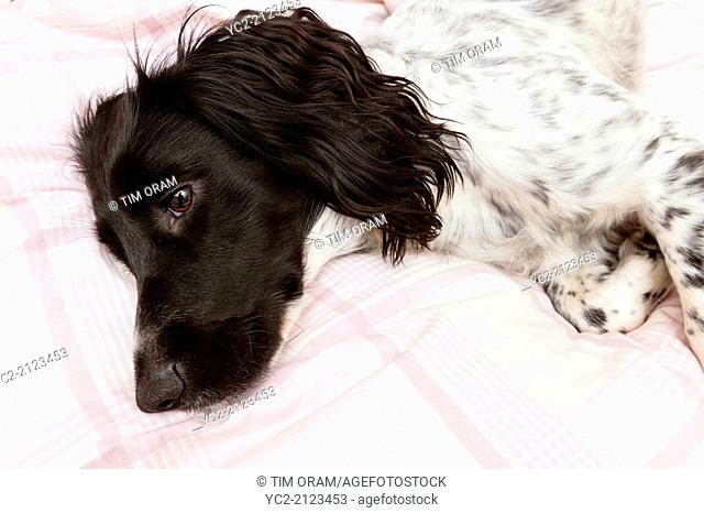 A black and white English Springer Spaniel indoors on a bed