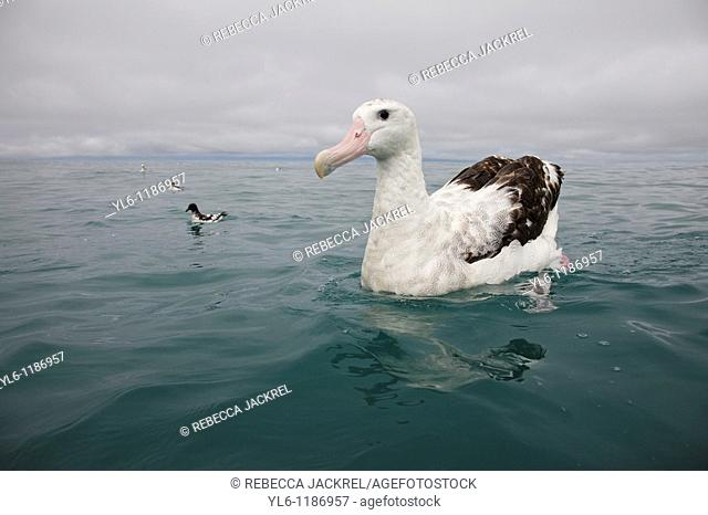 New Zealand, South Island, Kaikoura  Wandering Albatross with Cape Pigeon in background