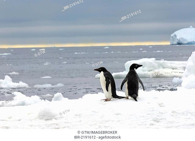 Two Adelie penguins (Pygoscelis adeliae) on the ice shelf, Brown Bluff, Antarctic Peninsula, Antarctica