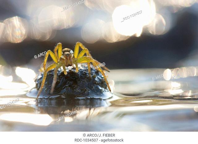 raft spider, Germany / (Dolomedes fimbriatus)